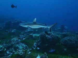tiburón entre corales