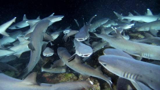manada de tiburones en sharkwater