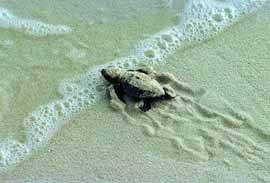 Una cria de tortuga boba se adentra en el mar