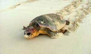 tortuga boba en una playa