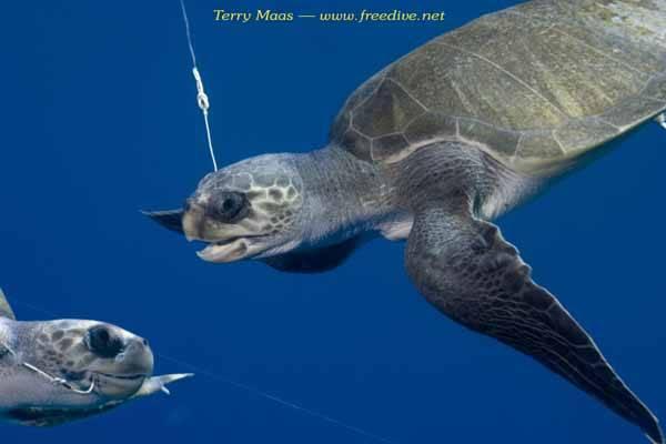 tortugas capturadas por palangre