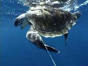 tortuga pescada en palangre