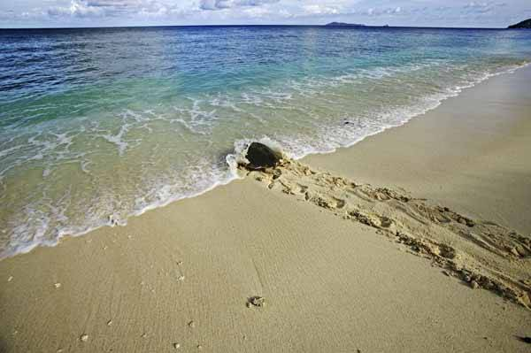 Una tortuga marina se entroduce en el mar