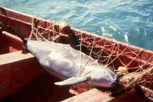 vaquita mexicana enmallada