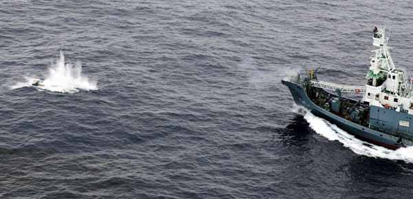 El ballenro japonés Yushin Maru, arponea una ballena