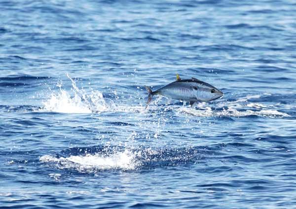 atún rojo del Mediterráneo salta fuera del agua