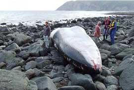 ballena de aleta varada entre las rocas, Lynmouth