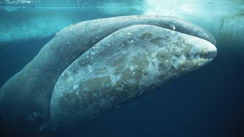 ballena franca en el Ártico