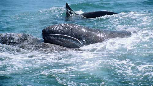 ballena gris y orca