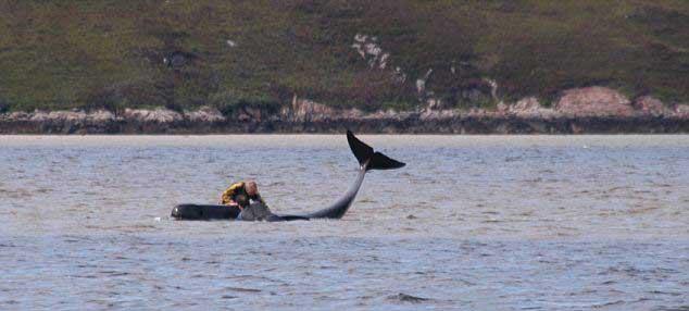 ballena piloto atrapada por la marea baja en Kyle of Durness