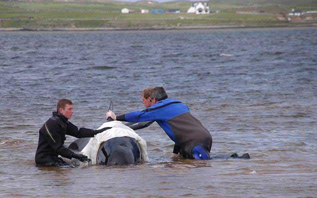 ballena piloto es reflotada en Kyle of Durness, Escocia