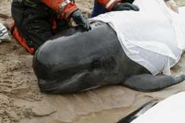 ballena piloto varada en Kyle Durness, Escocia