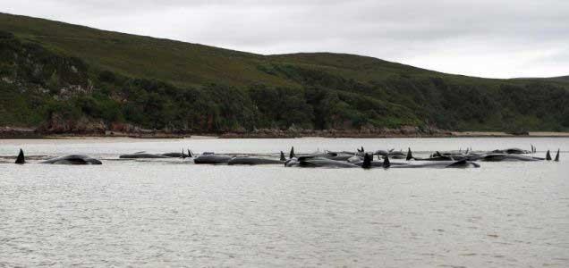 ballenas piloto en Kyle of Durness