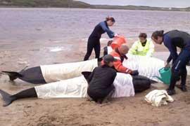 ballenas piloto varadas en Kyle of Durness son asistidas