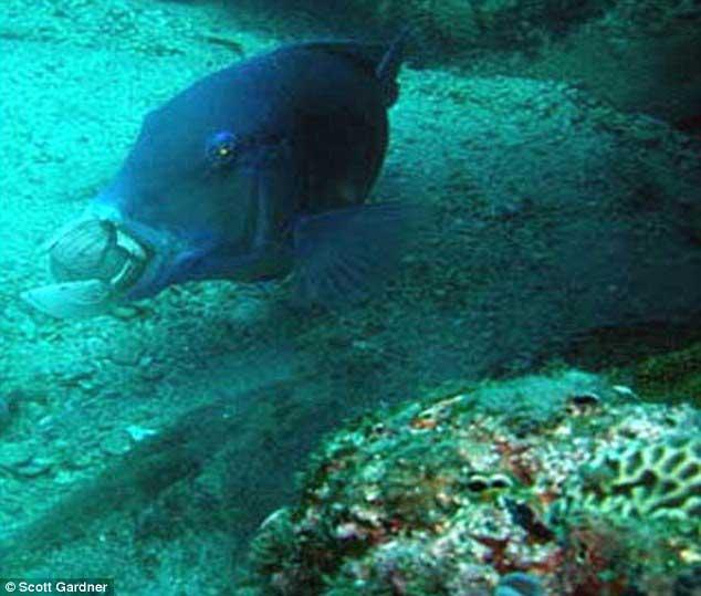Un Choerodon schoenleinii transporta un molusco para abrirlo