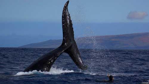 cola de ballena macho en Hawái