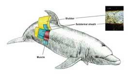 corte de la piel de un delfín