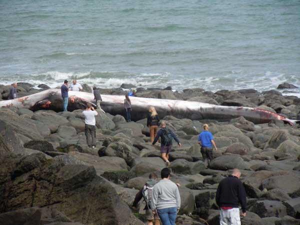 cuerpo de la ballena de aleta varada entre las rocas, Lynmouth