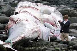 cuerpo ballena aleta varada en el momento de ser retirado