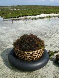 cultivo de algas en Filipinas