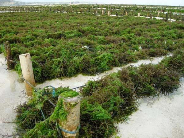 cultivo de algas en Indonesia