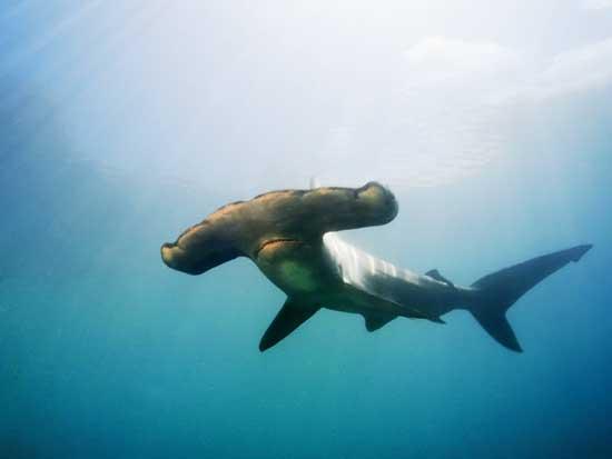 gran tiburón martillo (Sphyrna mokarran)
