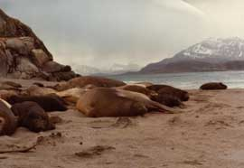 harén de elefantes marinos