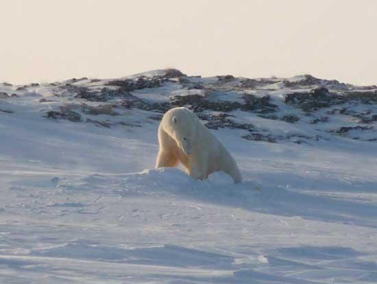 una hembra de oso polar prepara un refugio para los cachorros