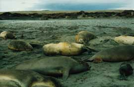 hembras de elefantes marinos del sur, una acaba de dar a luz