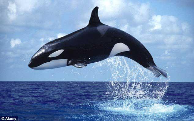 orca saltando fuera del agua
