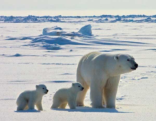 osa polar con dos crías