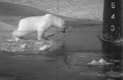 oso polar inspecciona el agua alrededor del timón de un submarino-3-p