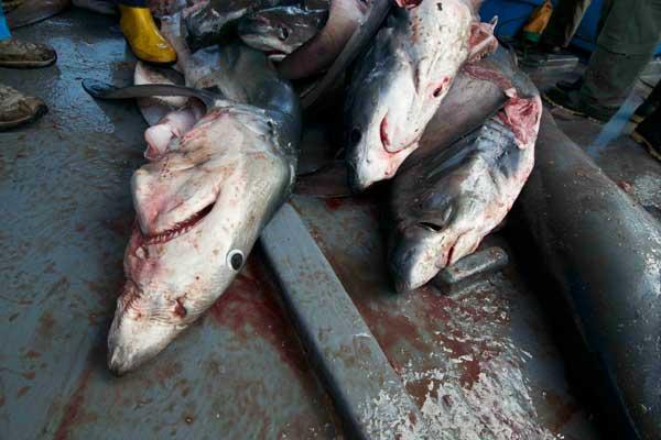 pesca ilegal de tiburones e las Islas Galápagos
