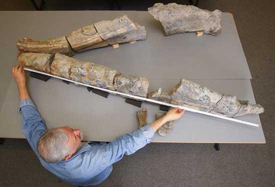 Richard Forrest  mide el cráneo del pliosaurio de Dorset