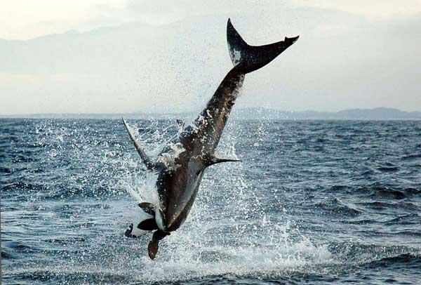 tiburón blanco caza una foca en el aire