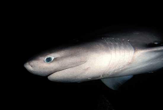 tiburón gris (Hexanchus griseus)