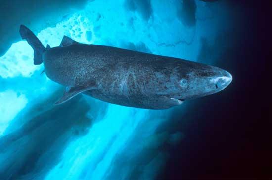 tiburón de Groenlandia  (Somniosus microcephalus)