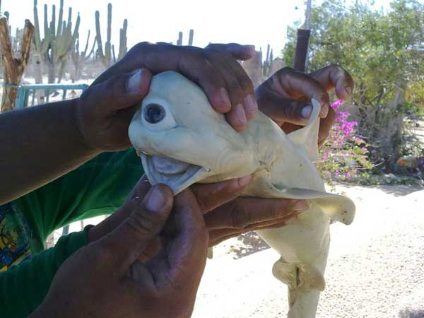 feto de tiburón toro ciclópeo y albino