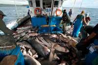 tiburones apilados en el barco de pesca ilegal