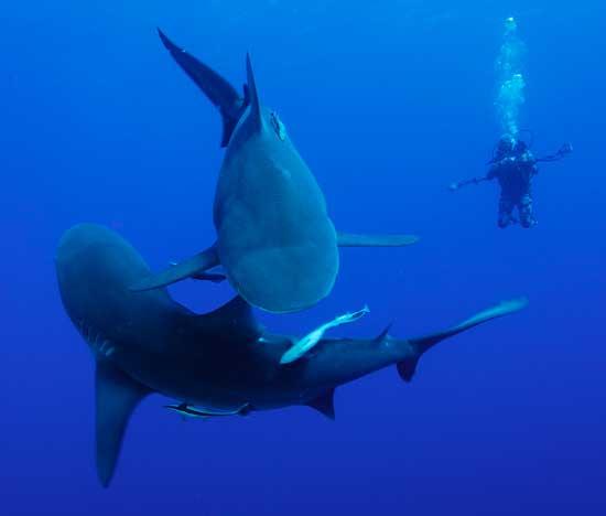 tiburones toro y buzo