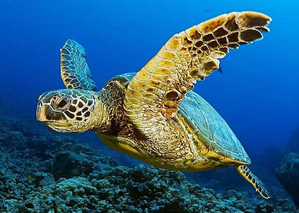 tortuga marina gigante