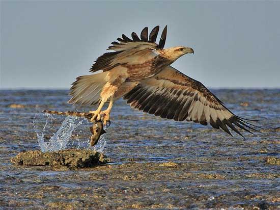 águila marina (Hemiscyllium ocellatum) pesca un tiburón