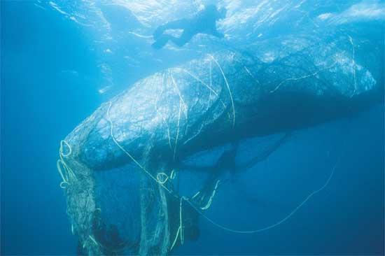 ballena gris enredada