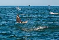 manta rayas en la Reserva marina Cabo Pulmo, México