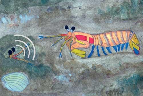camarón mantis, acuarela de Erika Staaterman