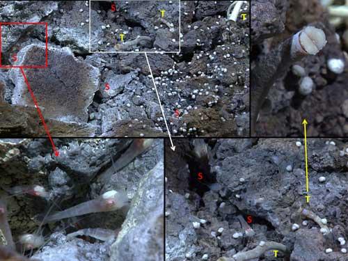 camarones y gusanos de tubo en respiraderos hidrotermales, ampliaciones