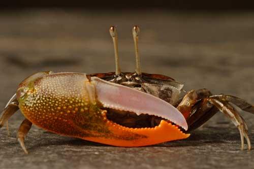 cangrejo violinista (Uca panacea)