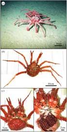 estudio de la población de cangrejo rey en la Antártida