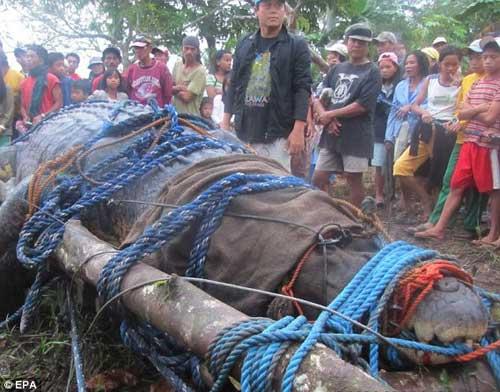 cocodrilo marino gigante capturado en Filipinas