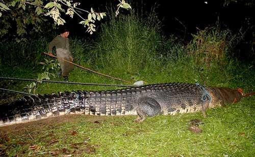 cocodrilo marino gigante, Filipinas